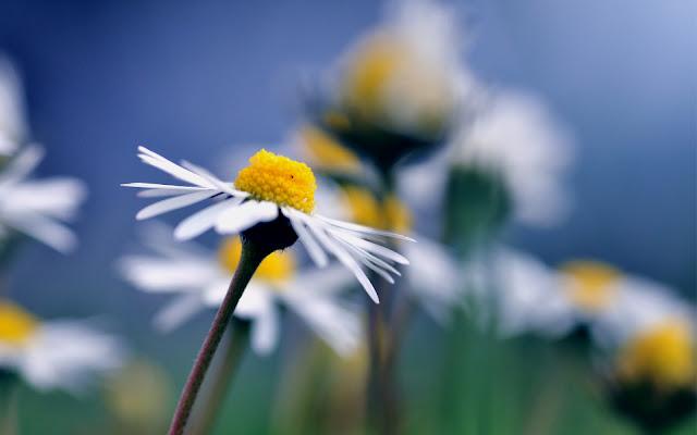 Flores de Manzanilla Imagenes de Flores en HD