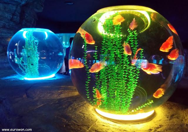 Peceras redondas con peces de colores