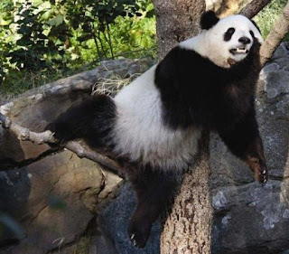 Oso Panda gigante durmiendo sobre las ramas de un árbol