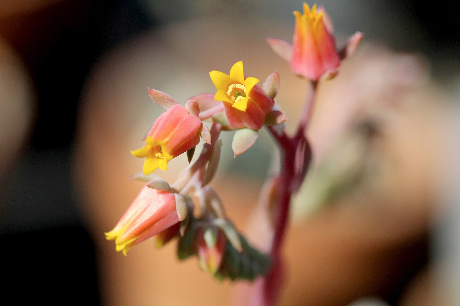 Echeveria aff. cuspidata - Flowers
