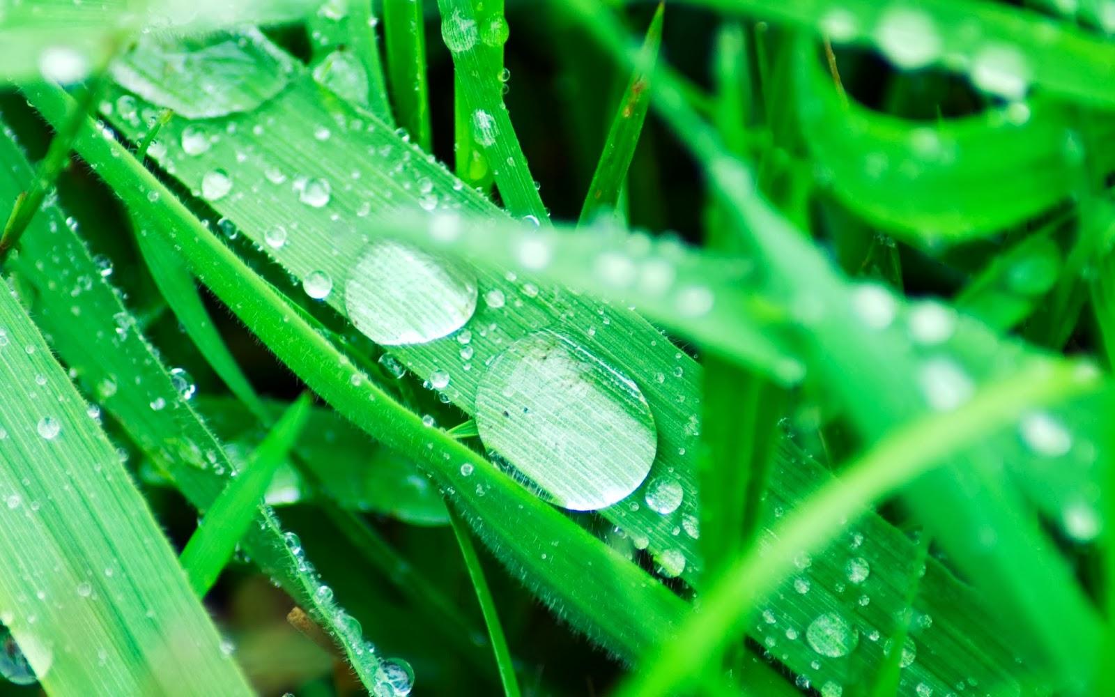 Nature Green Dew Drops Wallpaper