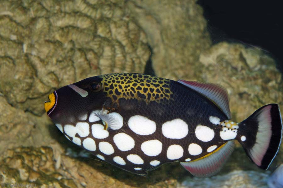 Despite it exotic appearance, the clown triggerfish is actually remarkably ...