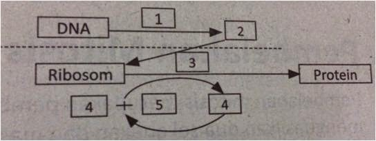 Douzes science deux indikator 30 proses sintesis protein perhatikan diagram sintesis protein berikut peristiwa yang terjadi pada nomor 1 adalah ccuart Image collections