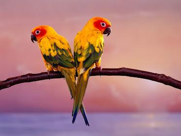 #10 Parakeet Wallpaper