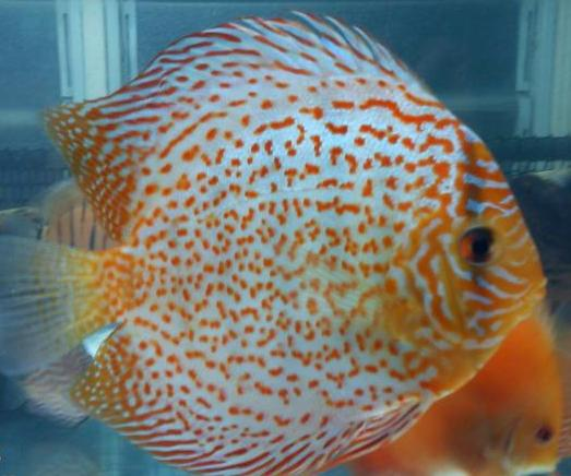 Breeding discus fish for Keeping discus fish