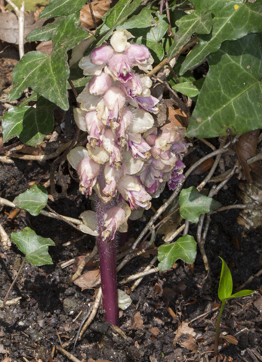 Toothwort, Lathraea squamaria.  High Elms Country Park, 21 April 2015.