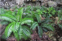 http://sciencythoughts.blogspot.co.uk/2015/02/trying-to-save-sinkhole-cycad.html