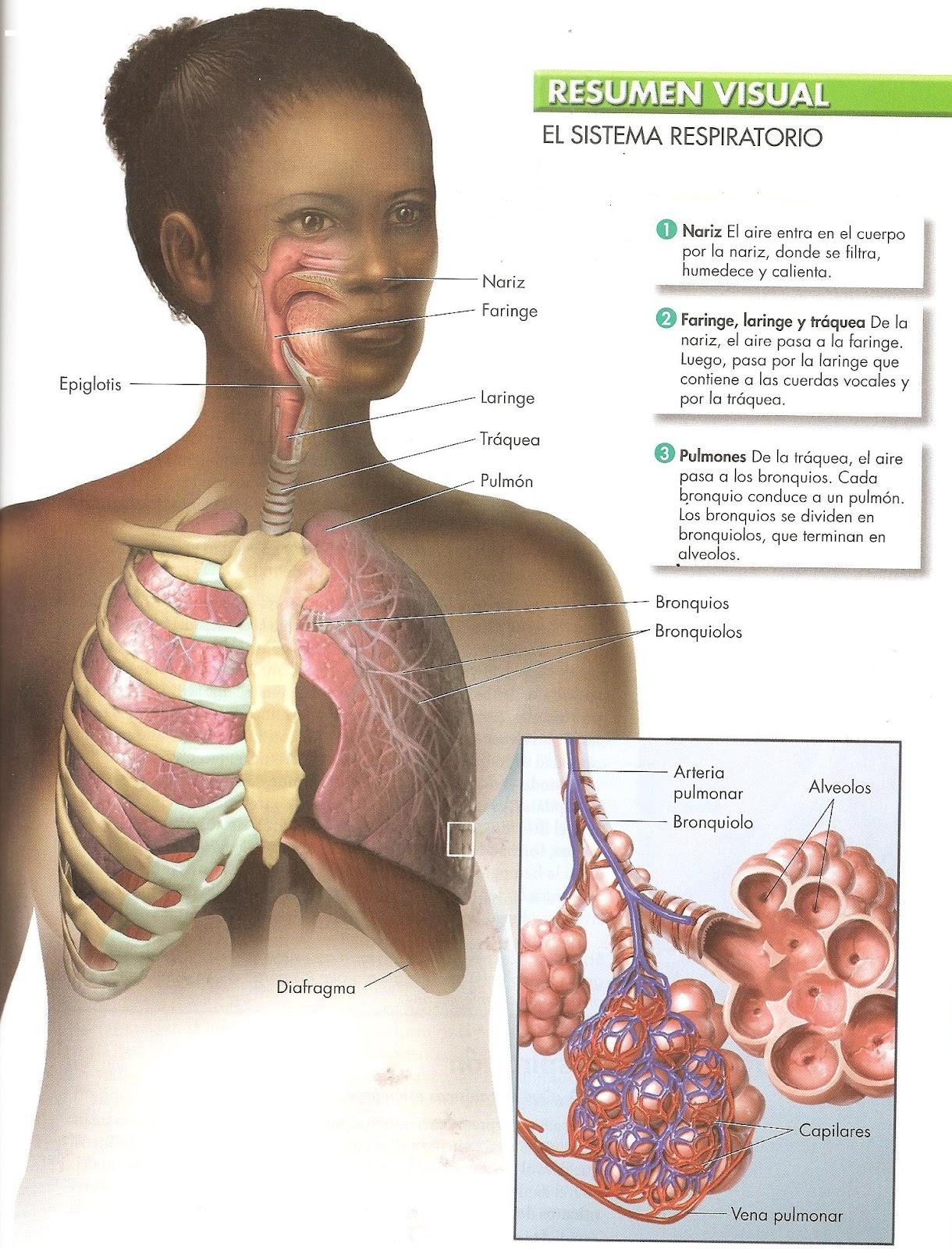 ANATOMIA.FISOLOGIA Y EDUCACION PARA LA SALUD: Sistema Respiratorio