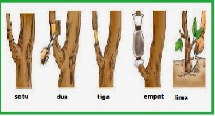 Cara Mencangkok Pohon Sawo Yang Baik dan Benar