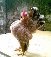 memandikan ayam serama