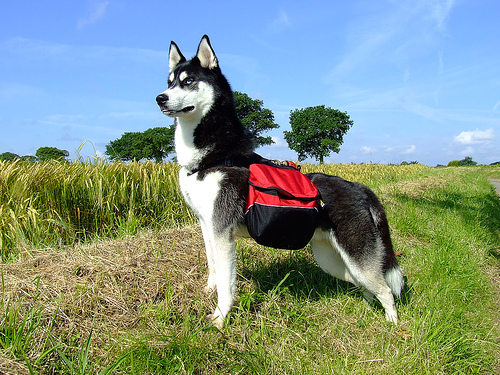 instead of pets dog backpack instead of lazy dogs or