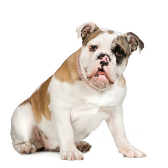 Bulldog Dog Breed Fotos