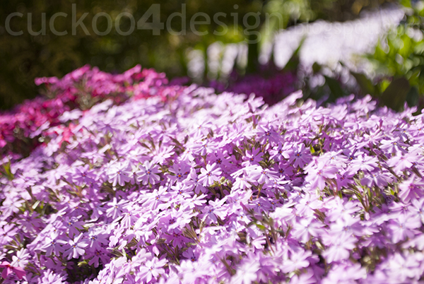 two colors of pink creeping phlox