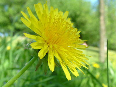 an introduction to the nature of dandelion An introduction to tower gardening  healthful benefits of dandelion leaf and root homemade lavender facial steam  nature hacks 5 beautifying drinks.