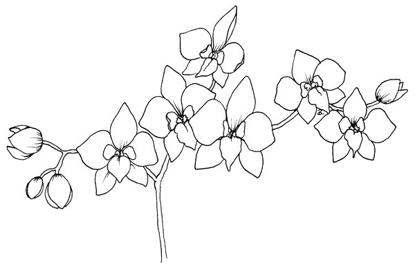 Orchid Flower Line Drawing : Beccy s place orchid