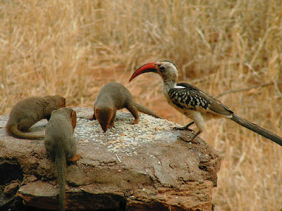 mongoose and hornbill birds relationship