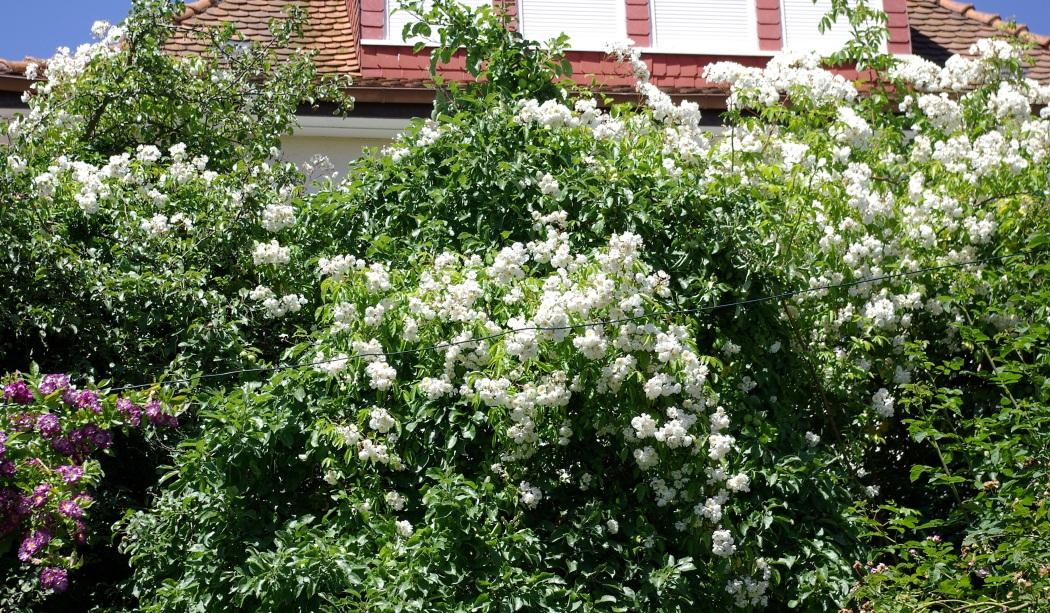 rudolfs park historischer rosen rambler. Black Bedroom Furniture Sets. Home Design Ideas