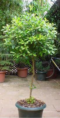 Arte y jardiner a los rboles en el jard n for Arbustos para macetas exterior