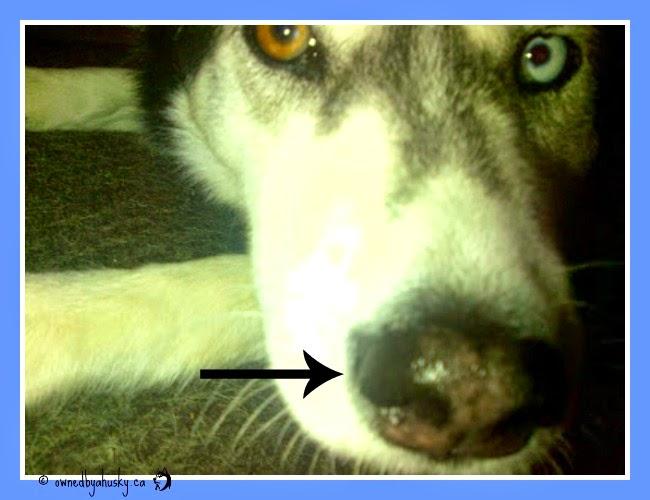 husky snow nose