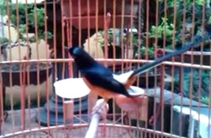 VIDEO + YOUTUBE] MURAI BATU GACOR DAN MANTAB .