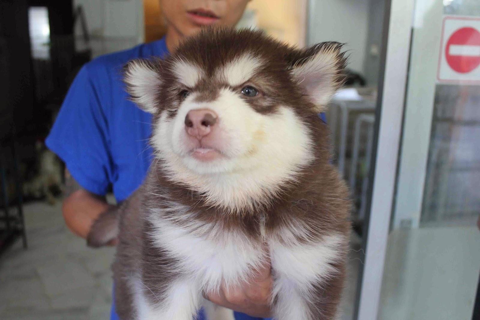 Lovelypuppy 20140106 Giant Alaskan Malamute Puppies