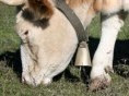 cowbell on cow