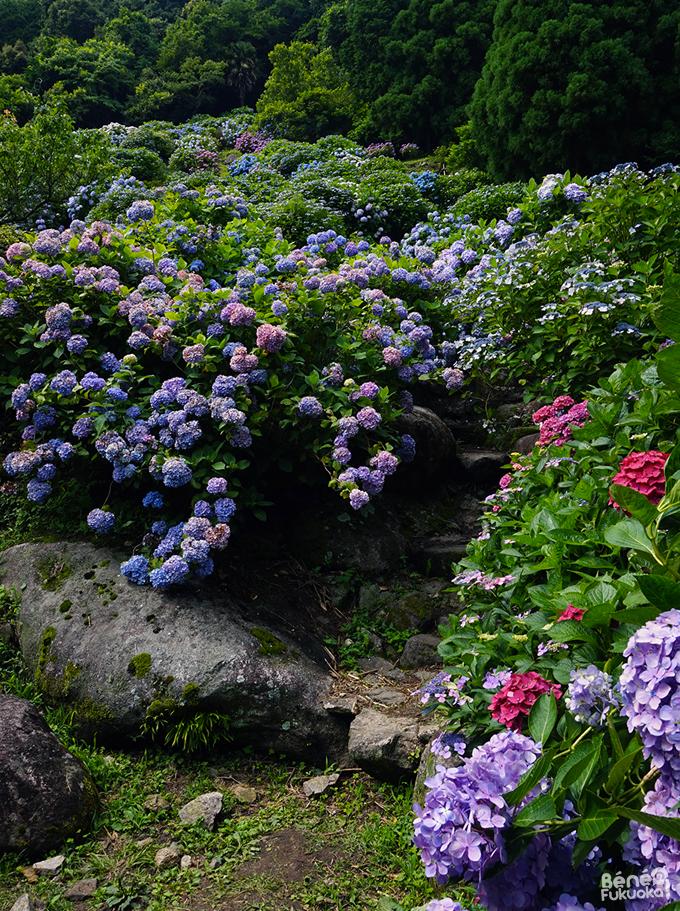 Mikaeri Falls' hydrangea// 見帰りの滝のあじさい