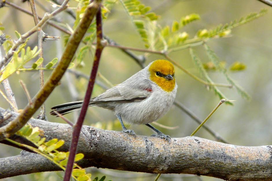 northamerican birds Verdin
