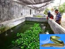 budiaya ikan sidat di Banyuwangi sangat menjanjikan