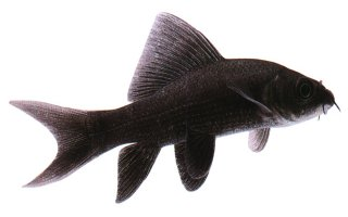 Aquarium Fish: Black Shark