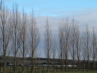 Lombardy poplars, fast-growing and short-lived.
