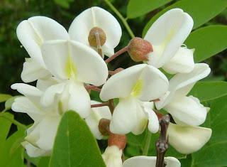 Beyaz akasya çiçekleri