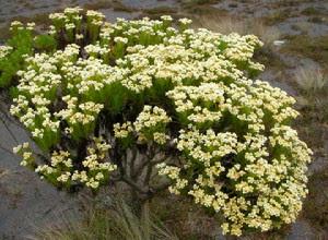 cara-merawat-bunga-edelweis.jpg