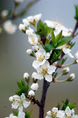 Apple Blossom in March