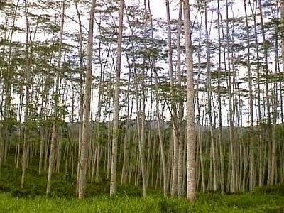Budidaya sengon dengan pupuk organik nasa mampu mempercepat pertumbuhan batang sengon.