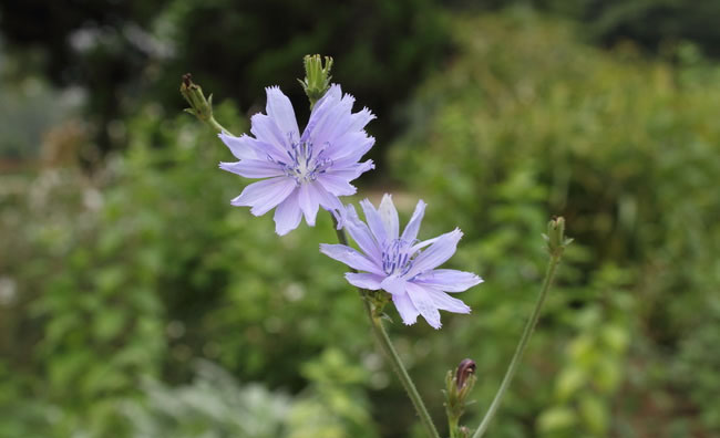 Chicory Flowers Pictures