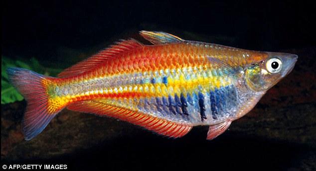 Ikan pelangi - Chilatherina Alleni