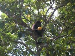 mono con mango