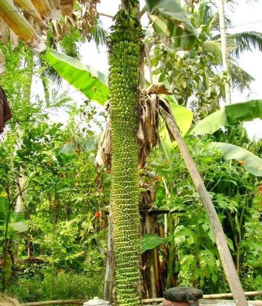tamil essay about banana tree