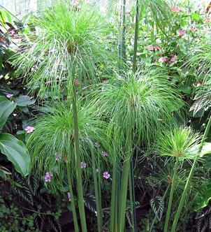 tanaman Cyperus Papyrus