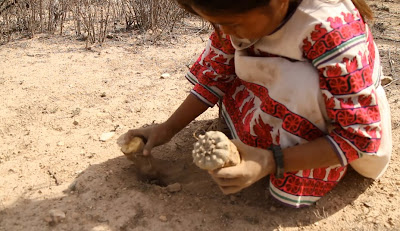 Huichol child collecting peyote