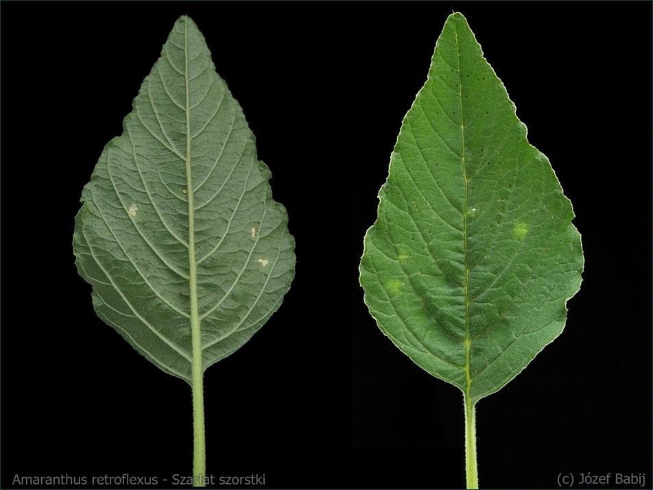 Amaranthus retroflexus - Szarłat szorstki liść