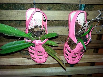 Orquídea na sandália.