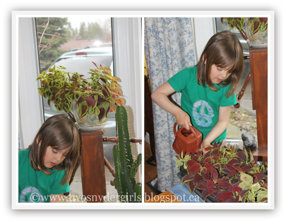 Watering the Coleus cuttings