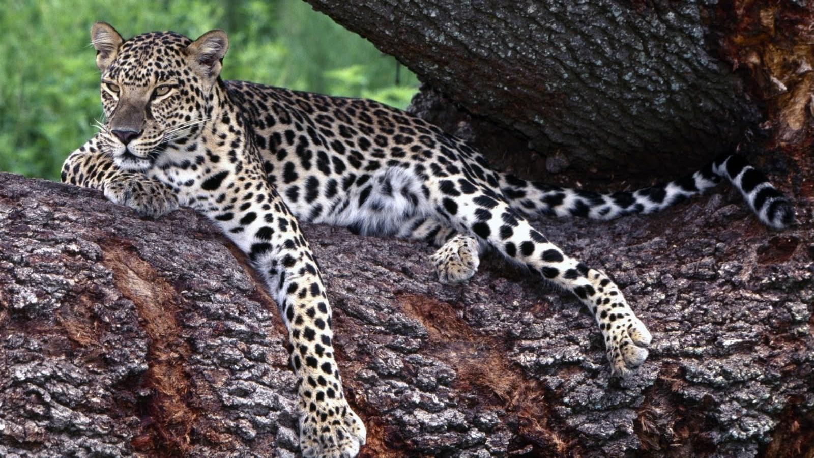 http://4.bp.blogspot.com/-UGr-g7vz7aI/TxfWm0kAdOI/AAAAAAAAAiI/8pK_vf2nGSc/s1600/Cheetahs-on-tree-1600x900-HD-Wallpaper.jpg