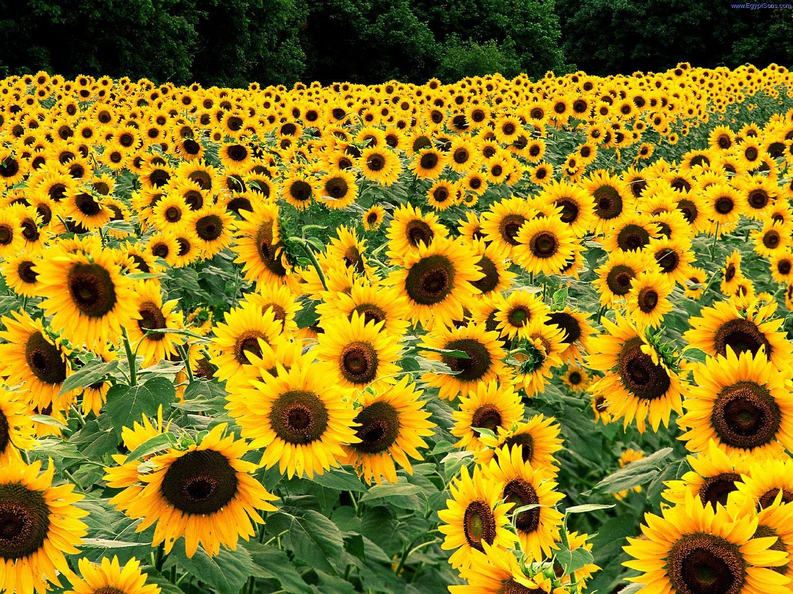 Sun Flower Beautiful Flowers