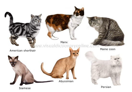 Curlz and Swirlz...: A Cat Breed Comparison Chart