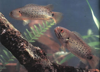 Anabas(climbing perch)