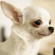 white chihuahua dog