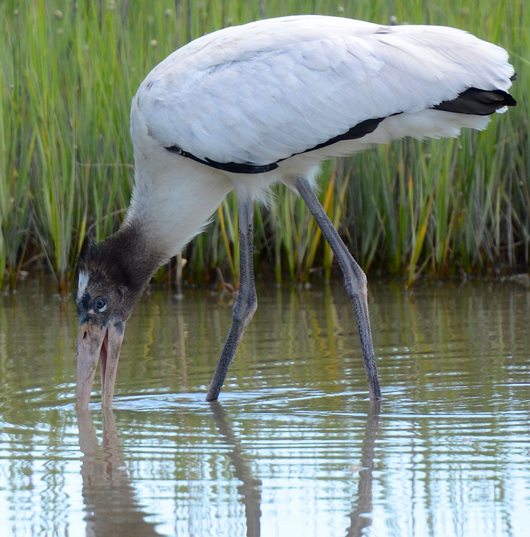 Juvenile Wood Stork at Pinckney Island NWR, South Carolina